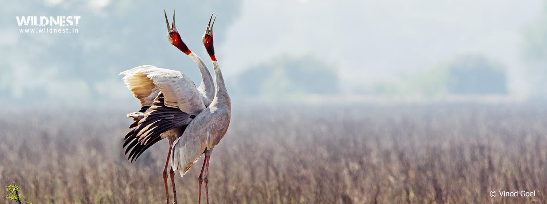 Sarus Crane courtship dance at Bharatpur Bird Sanctuary