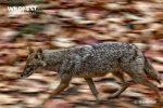 Jackal running at Corbett Tiger Reserve