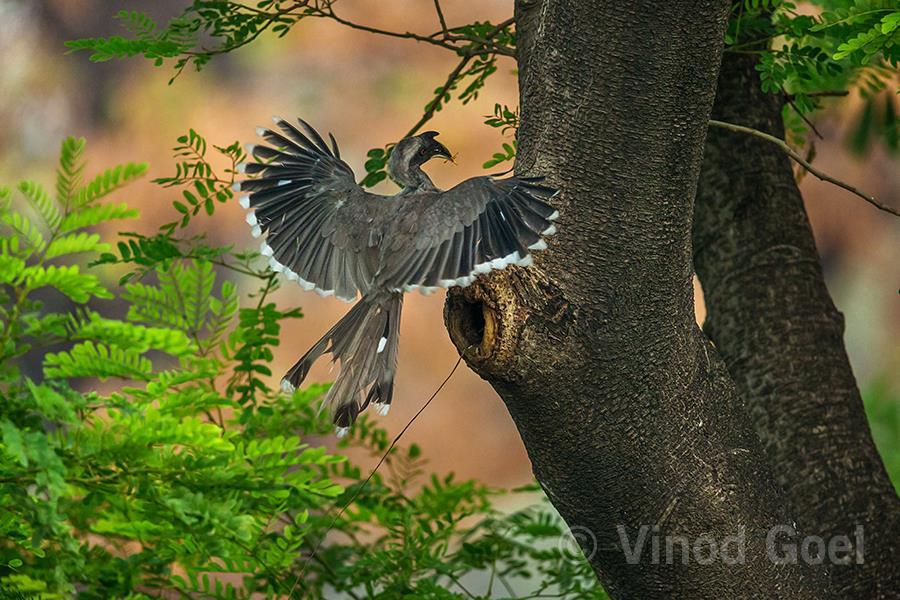 Indian Grey Hornbill at Delhi
