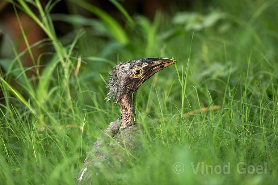 Indian Grey Hornbill chick at Delhi