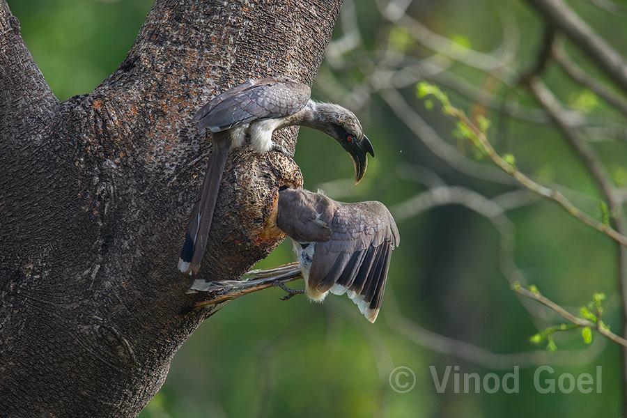 Indian Grey Hornbill Female enter into the cavity at Delhi