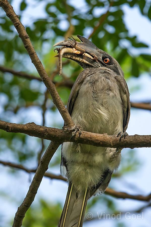 Indian Grey Hornbill Feeding lizard at Delhi