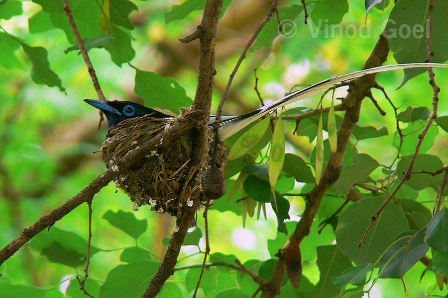 Asian Paradise Flycatcher2