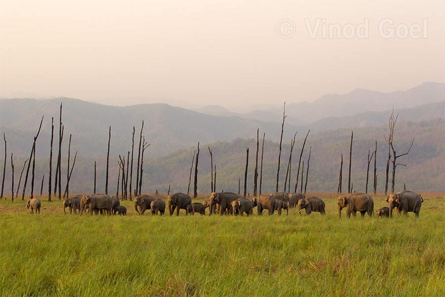 Asiatic Elephant Herd at Corbett Tiger Reserve