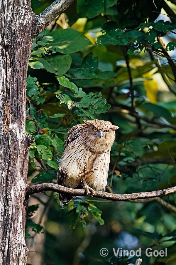 Brown Fish Owl at Dudhwa