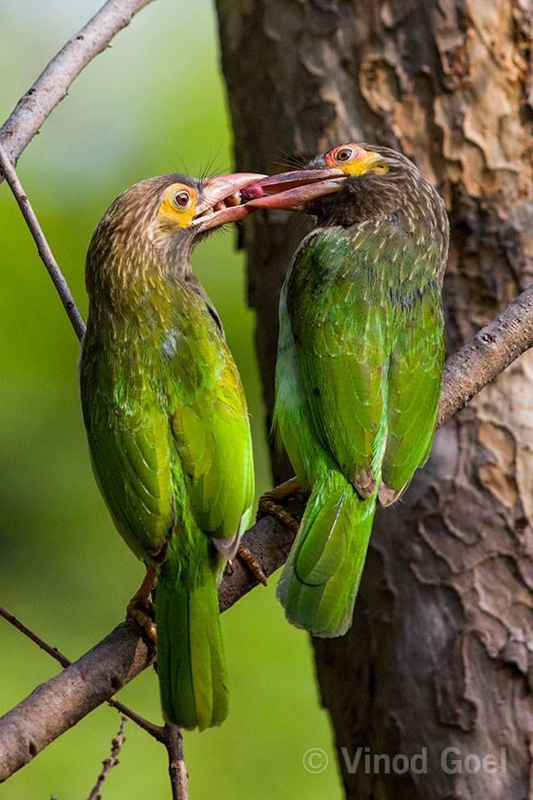 Brown-headed Barbet courtship at Delhi