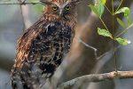 Buffy Fish Owl at Sundarban