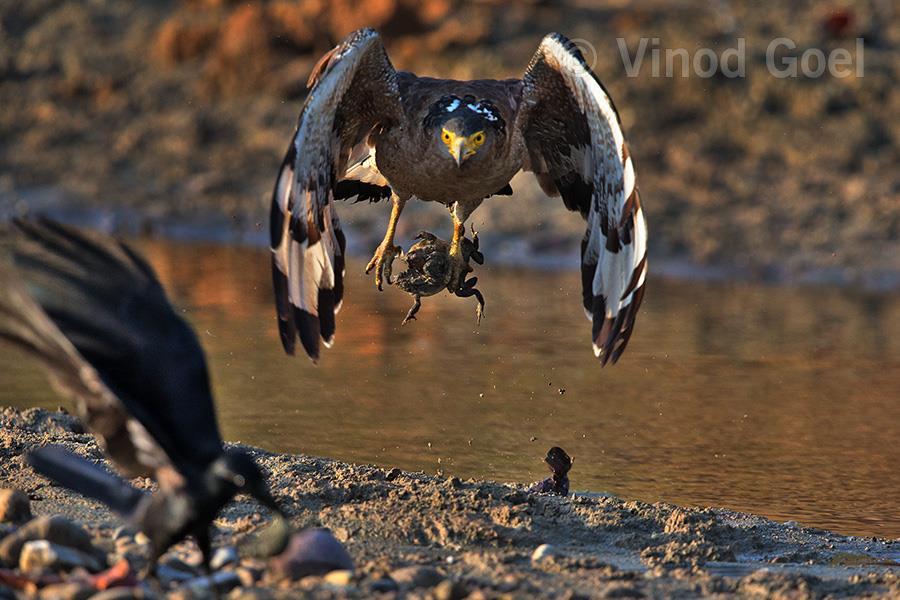 Crested Serpant Eagle with mating pair of toad at Rajaji National Park