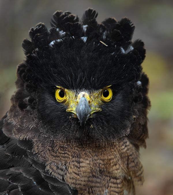 Crested Serpent Eagle at Dudhwa Tiger Reserve
