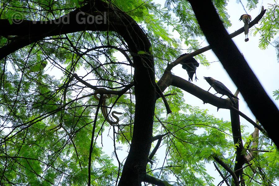 Crow and the snake at Delhi