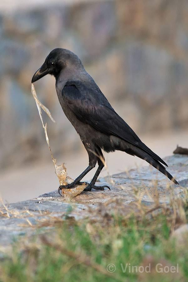 Crow feeding plastic at Delhi