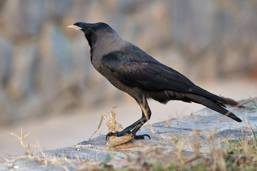 Crow feeding plastic at Delhi1