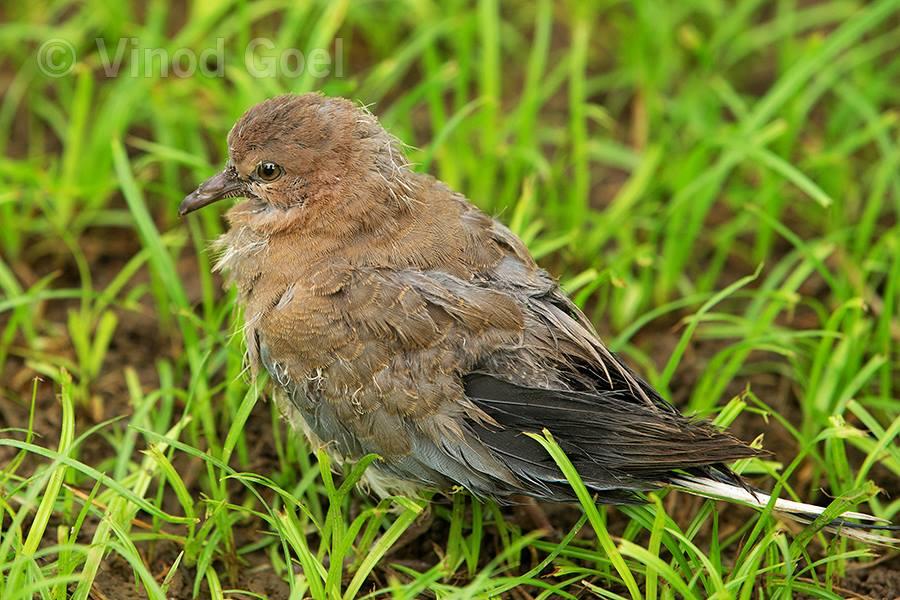 Dove Chick at Delhi