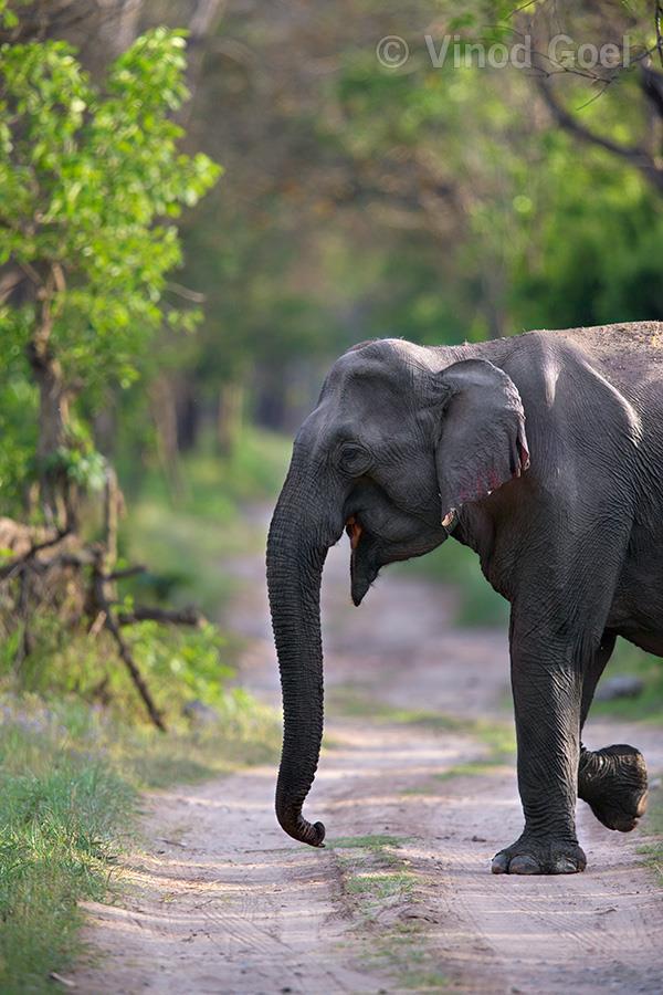 Elephant at Rajaji National Park
