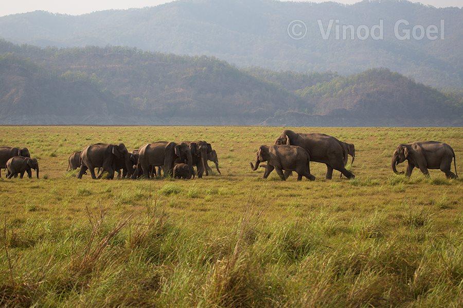 Elephant herd at Rajaji National Park
