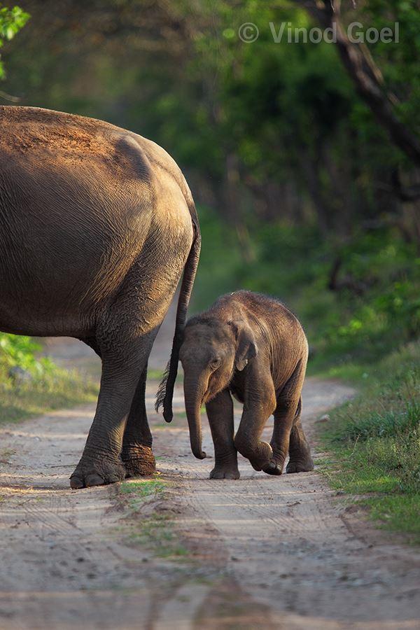 Elephant with cub at Rajaji National Park