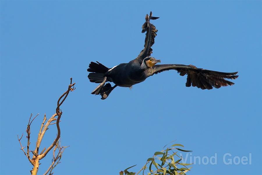 Great Cormorant1