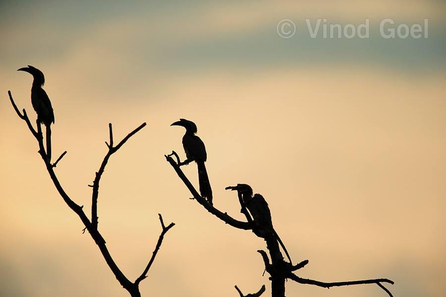 Indian Grey Hornbills at Delhi