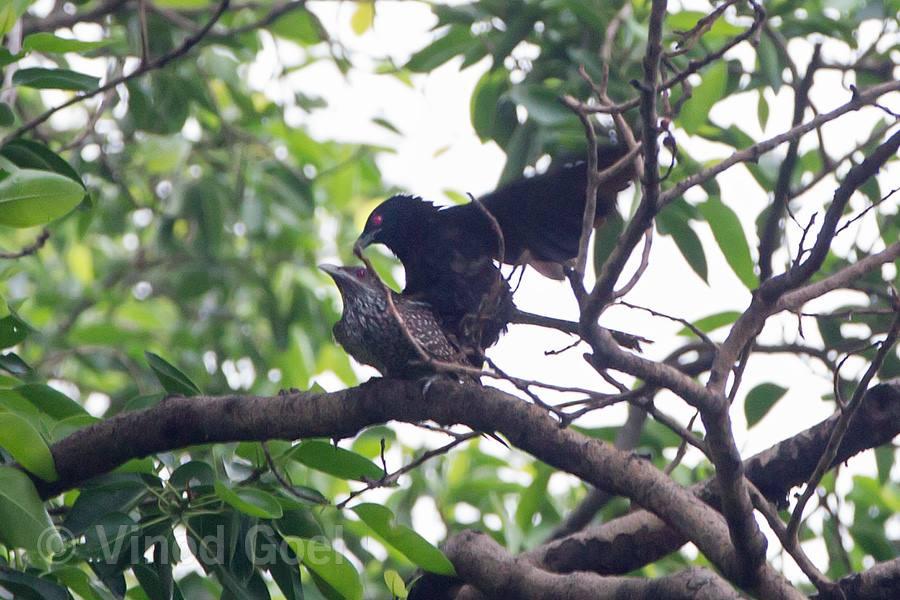 Koel Mating at Delhi
