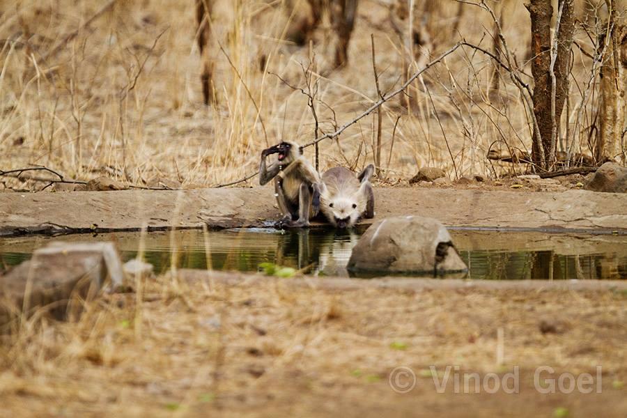 Langur Monkey Drinking Water at Tadoba Andhari Tiger Reserve