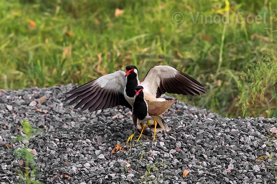 Lapwing Mating at Delhi