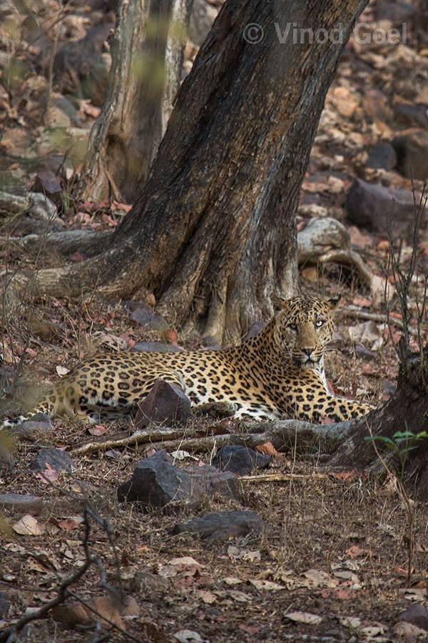 Leopard at Ranthambore Tiger Reserve1