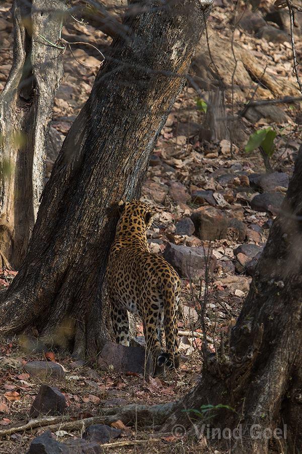 Leopard at Ranthambore Tiger Reserve2
