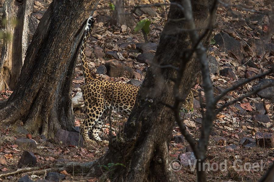 Leopard at Ranthambore Tiger Reserve3