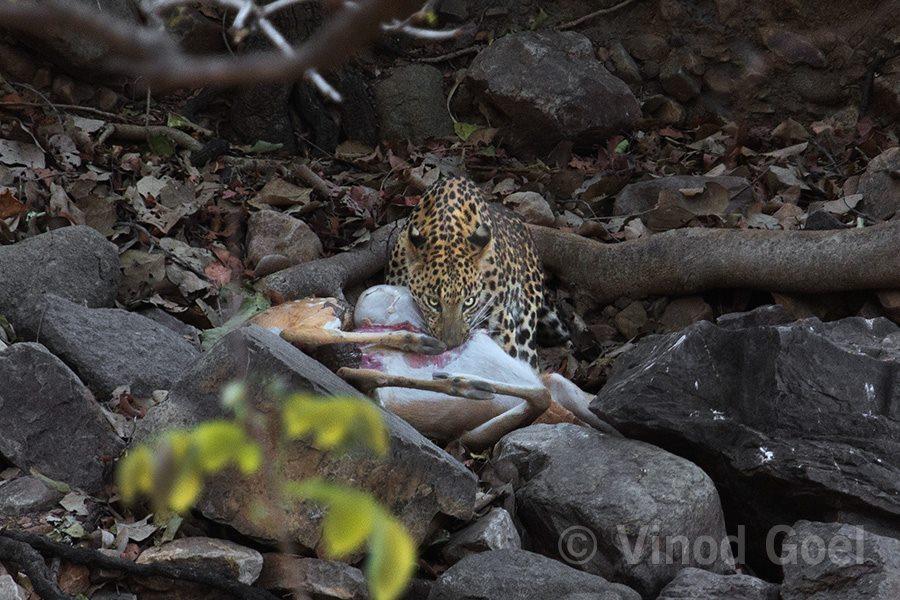 Leopard at Ranthambore Tiger Reserve4