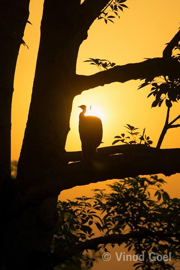 Peacock in the morning at Delhi