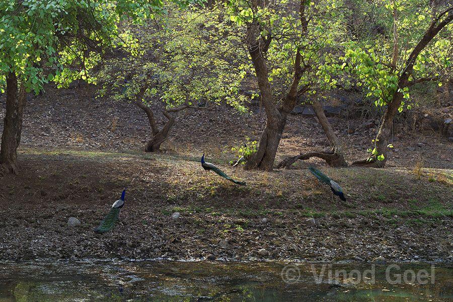 Peacocks at Ranthambore Tiger Reserve