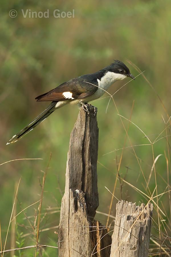 Pied Crested Cuckoo at Sariska