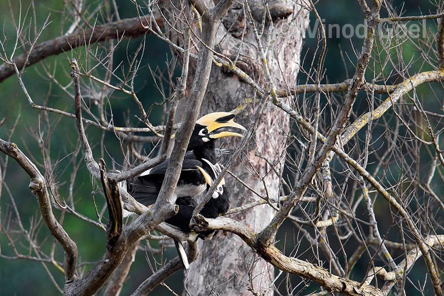 Pied Hornbill at Rajaji National Park