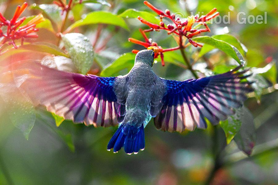 Purple Sunbird at Delhi