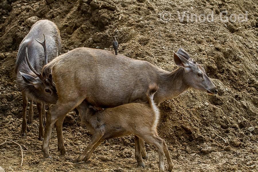 Sambar Female Feeding milk to male sambar & cub at Sariska Tiger Reserve