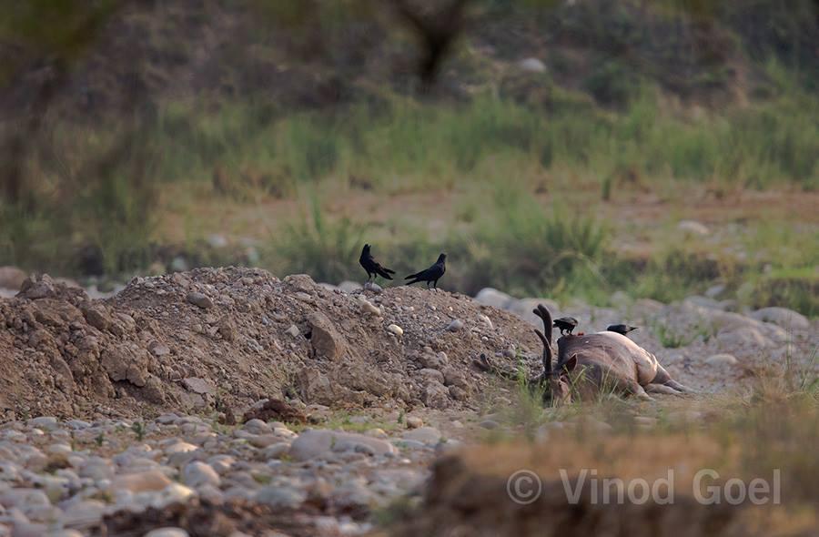 Sambar kill at Rajaji National Park