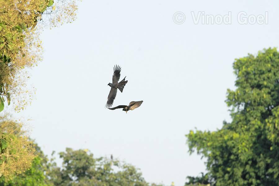 Shikra chasing Grey Hornbill at Delhi