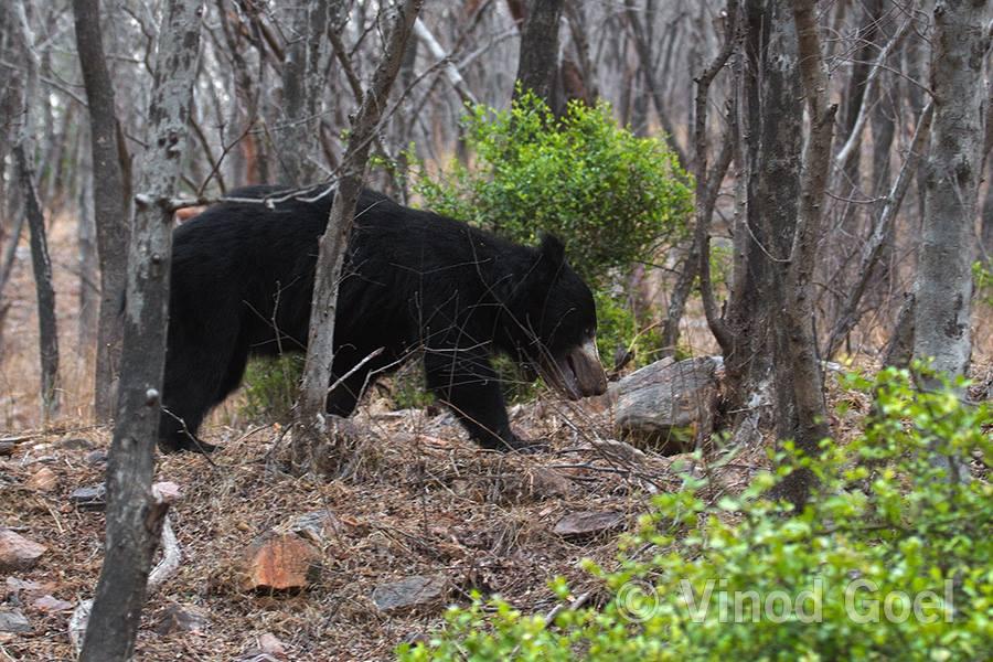 Sloth Bear at Ranthambore Tiger Reserve
