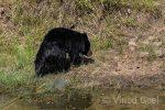 Sloth Bear at Tadoba Andhari Tiger Reserve