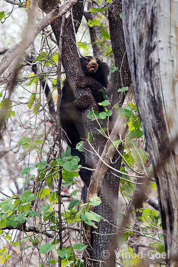 Sloth bear climbing a tree to get honeycomb for the breakfast at Nagzira