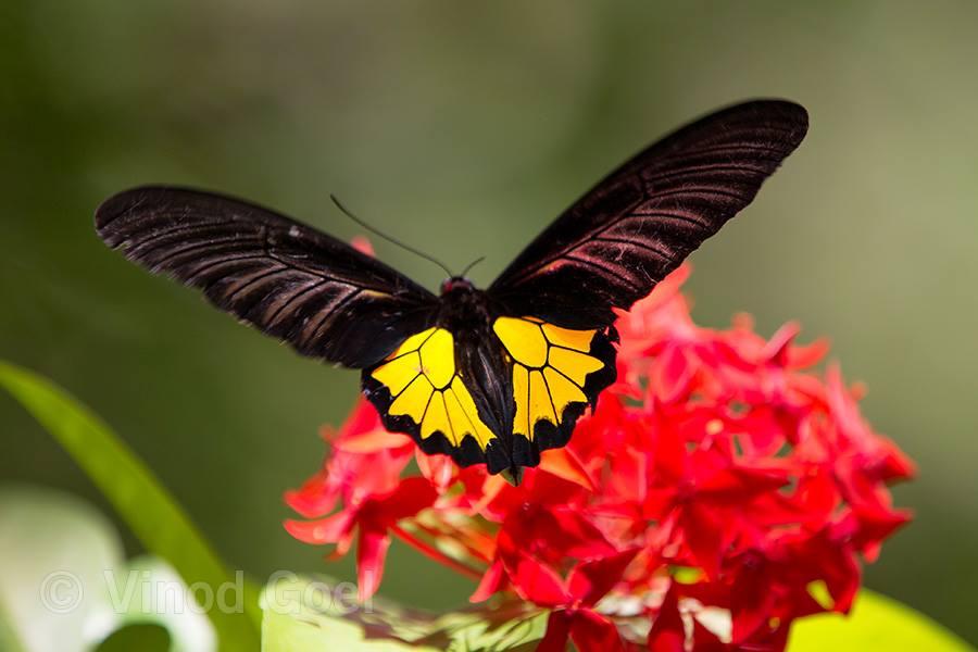 Southern Birdwing butterfly at Kerala
