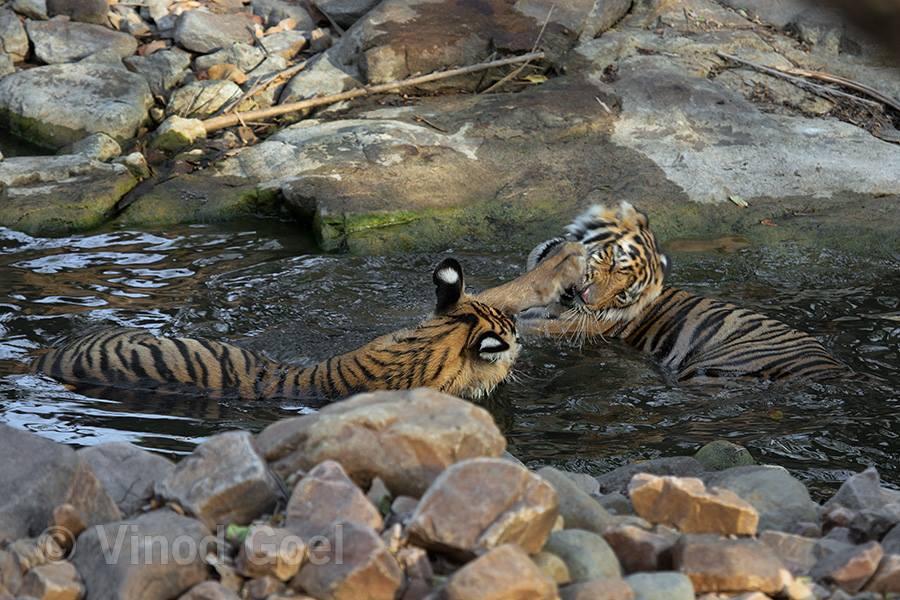 TIger cubs playing at Ranthambore Tiger Reserve