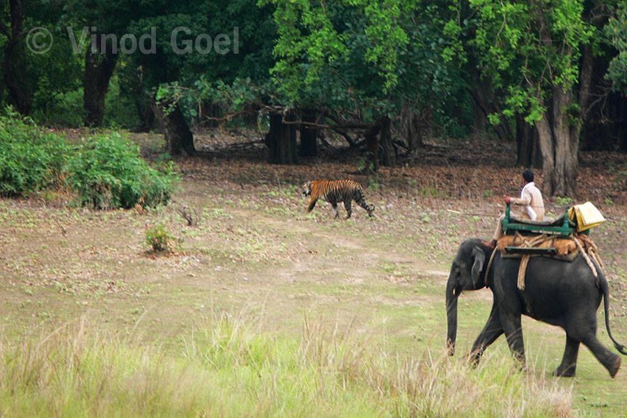 Tiger Show at Kanha National Park1