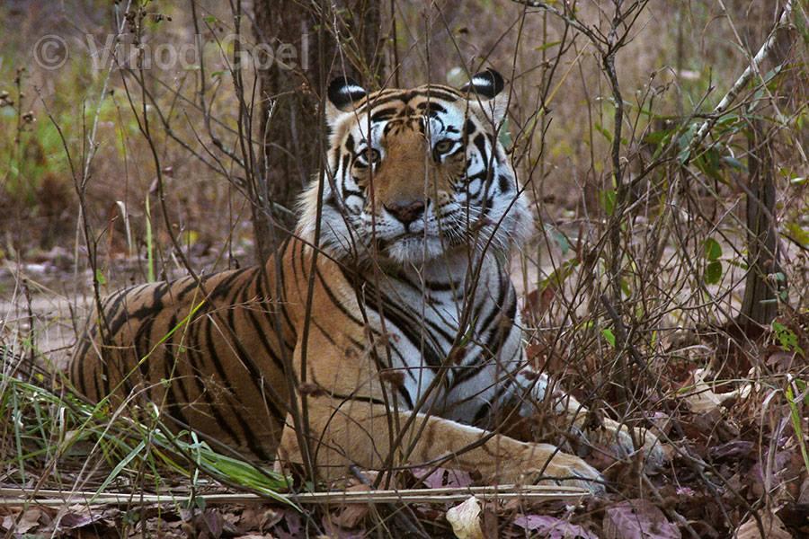 Tiger at Kanha Tiger Reserve