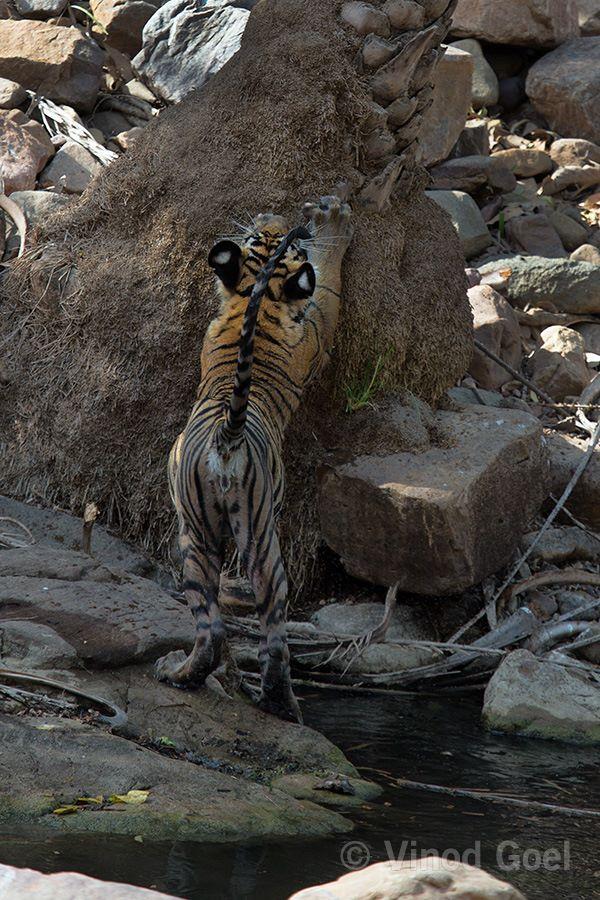 Tiger cub playing at Ranthambore Tiger Reserve
