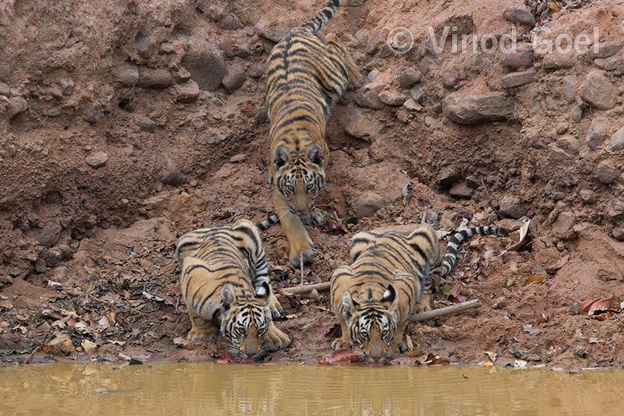 Tiger cubs at a water hole at Tadoba Andhari Tiger Reserve
