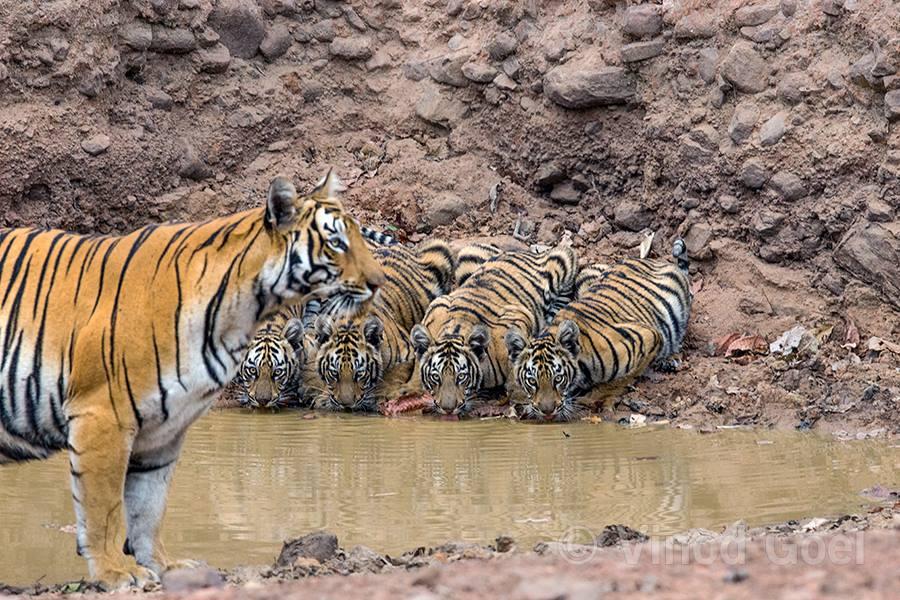Tiger with 4 cubs at Tadoba Andhari Tiger Reserve