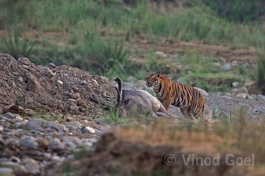 Tiger with kill at Rajaji National Park