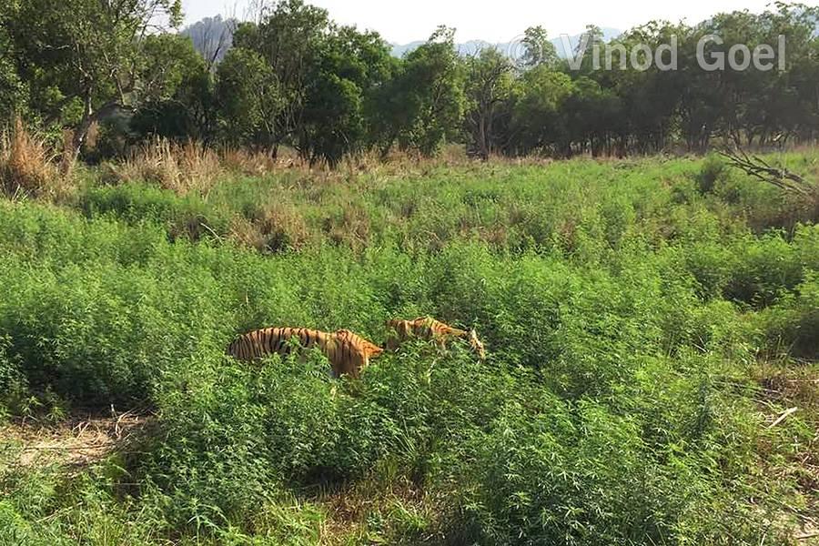 Tiger with tigress at Corbett Tiger Reserve