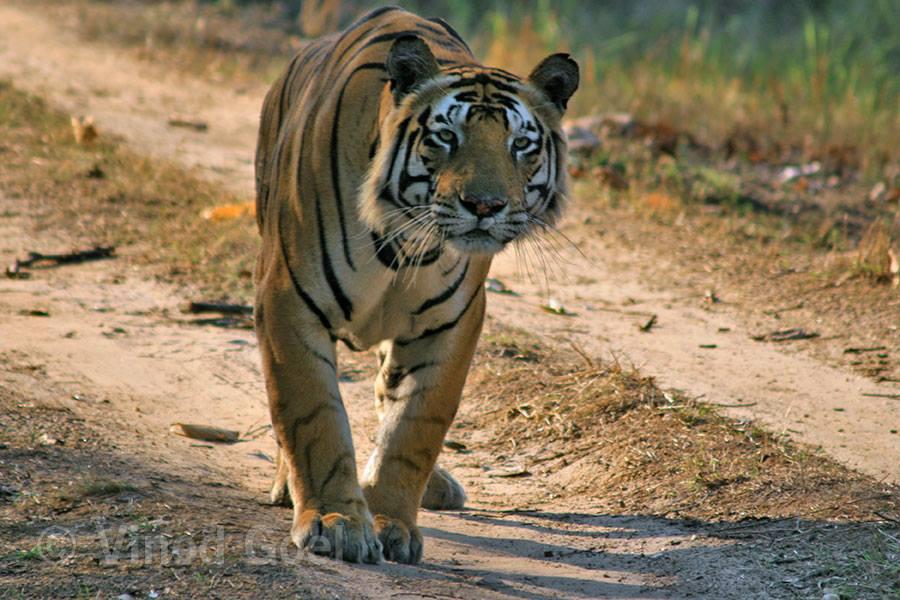 Tiger(Munna Cat) at Kanha Tiger Reserve